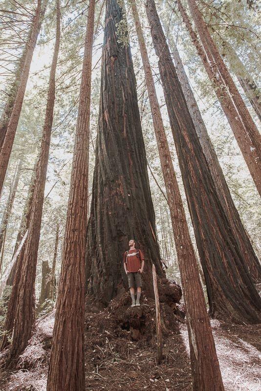 Tussen de sequoia bomen Amerika
